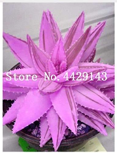 Go Garden Promoción grande! 300 PC Aloe Vera Bonsai suculento de Lucky Aloe Plantas Bonsai Semillas