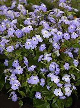 ANVIN Keim Seeds: 50 Samen von Browallia Cascade Sky Blue Moon Gardens Einfach schön gewachsenen -