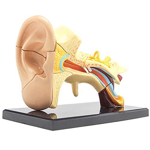 DONGBALA Ohr-Anatomie Modell, Ohr Joint Simulationsmodell Externe Middle & Inner Ear Structureteaching Medizintechnik Organstruktur Hörsystems Ausbildung Ausbildungshilfe -