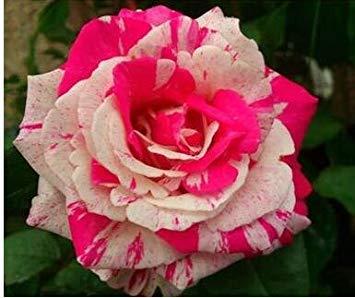 jardinières Pots de fleurs, 20 sortes de 100 graines, Rainbow Rose graines belle rose graines bonsaïs graines pour la maison et le jardin 4