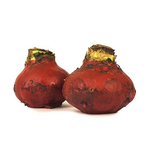 Wax Amaryllis SET 2x MATT ROT RUSTIKAL gewachst - Geschenktip! Amaryllis Hippeastrum, Deko, blühende Pflanze