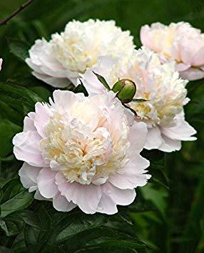 10pcs / sac de graines de pivoine, jaune, graines de fleurs de pivoine rose chinoise belles graines de bonsaï plantes en pot pour le jardin de la maison 9