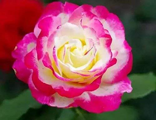 Saatgut Rosen Hefen, für Zuhause, Garten, Hof, Dekoration, 50 Samen - Flower Fairy Rose seeds (Anlage Fairy Garden)