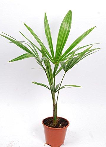 Chinesische Hanfpalme 40-60 cm Trachycarpus fortunei