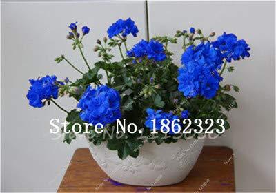 prime vista 30 Teile/paket Seltene Blaue Pelargonie bonsai Mehrjährige Seltene Blume bonsai Für Innen Zimmer Bonsai Topf Blume Elegante Mix-Farbe: 19