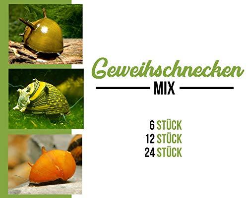 Garnelen Geweihschnecken Mix - bunt - Aquarium Schnecken - Algenvernichter Aquarium Algenbekämpfung, Menge:12 STK.