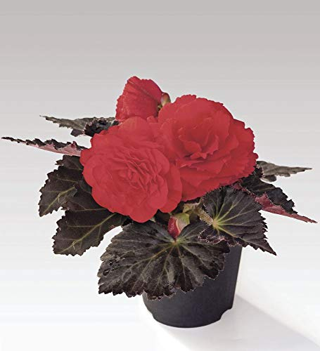 AGROBITS Flower - Begonia - Nonstop Moc Kirsche F1-10 Pelled Seed 10 Moc