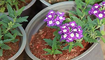 BloomGreen Co. Blumensamen: hastata Exotische Samen Blumensamen für Boundary Garten [Home Garten Samen Eco-Pack] Pflanzensamen -
