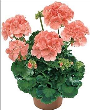 Deux couleurs Rouge Blanc univalve Géranium Graines Graines de fleurs vivaces Pelargonium peltatum Semences pour 100 graines Pièces d'intérieur / Sac 4