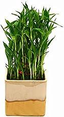 Exotic Green Bamboo Inoor Plant In Cream & Cookie Ceramic Pot