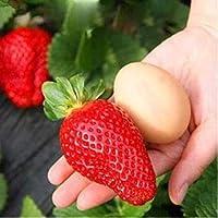 Beautytalk Jardín-Fresa trepadora 'Hummi', Fragaria perenne Fragaria, Fresa trepadora de crecimiento rápido, Semillas frutales trepadoras en autofecundación