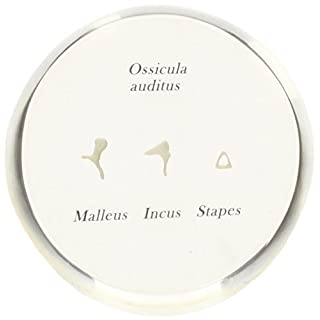 3B Scientific Human Anatomy - Life Size Auditory Ossicles Model