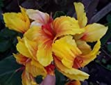 Canna indica - Indisches Blumenrohr ' TALISMAN ' 1 Rhizom