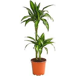 Dehner Drachenbaum Hawaiian Sunshine, zweitriebig, 60-70 cm, Ø Topf 17 cm, Zimmerpflanze