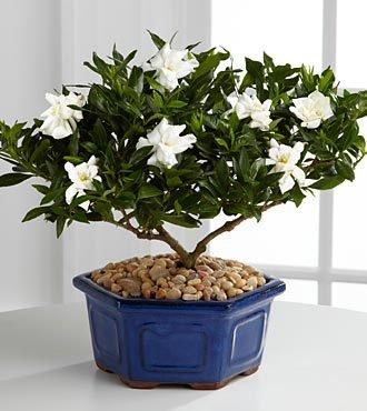 2016 Graines de Gardenia (Cape Jasmine) -DIY jardin en pot Bonsai, odeur incroyable et de belles fleurs, shippi gratuit