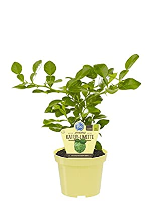 Amazon.de Pflanzenservice Kräuter, Kaffir-Limette, Citrus hystrix, grün, 40x24x12 cm, 892032 von Amazon.de Pflanzenservice auf Du und dein Garten