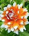 """Dekorative Dahlie """" Mega Star """" von Mosselman - Du und dein Garten"""