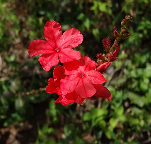 Haritham Rare Chethikoduveli/Lal chitrak (Plumbago indica) Flower Plant - 1 Live Plant
