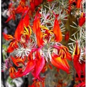Tropicaflore - Lotus berthelotii (Bec de perroquet ) - Pot de 2 litres - 60/80 cm