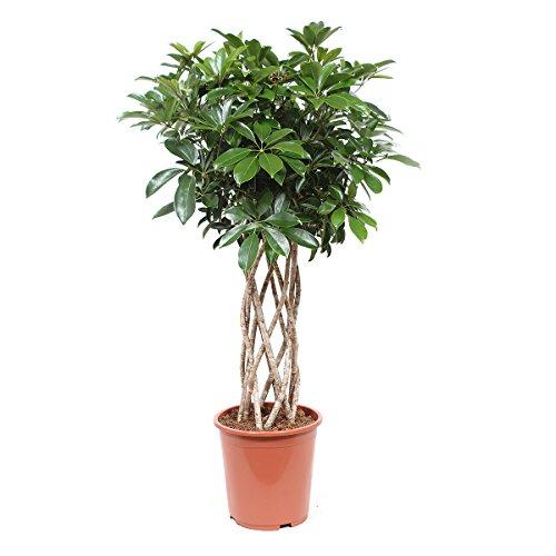 FloraAtHome - Grünpflanze - Schefflera arboricola Compacta - Kleine Strahlenaralie - 100cm hoch