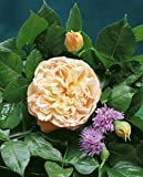 'Evelyn' -R-, Englische Rose im 4 L Container