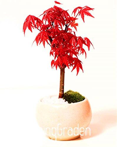 20pcs-plumas-de-arce-semilla-semillas-bonsai-el-florecimiento-de-90-semillas-de-arboles-vqu25u