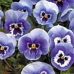 40 Winter Flowering Pansy Plug Plants Delta Light Blue