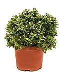 Geldbaum, ca. 55 cm, Balkonpflanze wenig Wasser, Terrassenpflanze sonnig, Kübelpflanze Südbalkon, Crassula ovata minor, im Topf