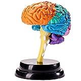 oiurv Cerebro estructural Modelo zerlegtes humano Modelo Ciencia Herramientas de enseñanza desmontado Anatomía medicinal Enseñanza isch Aprendizaje Herramientas