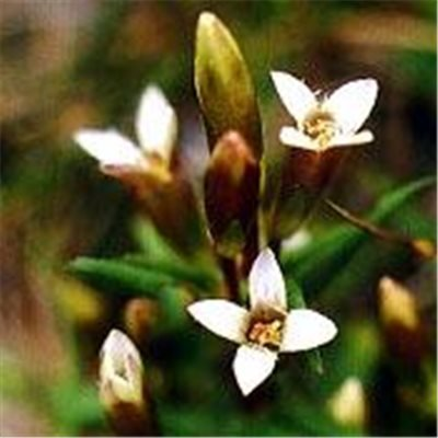 Bachblüten Original Gentian 20 ml (20 ML)