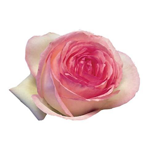Pierre de Ronsard®,(o Eden Rose®) rosa in vaso di Rose Barni®, pianta rampicante rifiorente a grandi fiori, h.raggiunta 5 metri, pianta resistente alle malattie, leggermente profumata, cod.15071