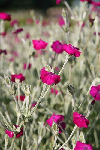 Lychnis coronaria - 3 Pflanzen im 0,5 lt. Vierecktopf