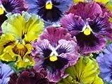 Just Seed Blume Stiefm tterchen Verwirren und verfilzen Sizzle F1 20 Samen