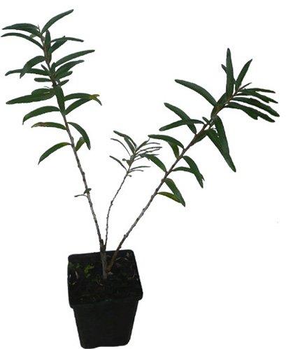 Sanddorn Friesdorfer Orange Pflanze selbstfruchtbar