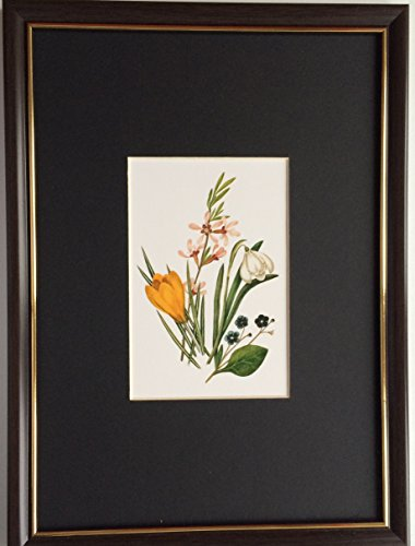 framed-and-mounted-collectable-art-royal-horticultural-society-crocus-olivieri-by-caroline-maria-app