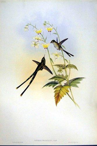 Gould Vogel-prints (Zarte Gould Vögel 1990 Kolibris Lesbia Gouldi)