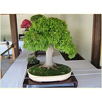 red heirloom 5pcs samen eiche samen bonsai samen quercus. Black Bedroom Furniture Sets. Home Design Ideas