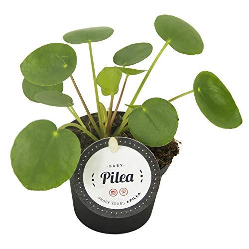 Glückstaler, (Pilea peperomioides), Chinesischer Geldbaum, Zimmerpflanze,