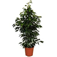 suchergebnis auf f r halbschatten zimmerpflanzen blumen pflanzen garten. Black Bedroom Furniture Sets. Home Design Ideas