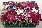 SOIL ME Verbena Hybrid Mix Colors Flower...