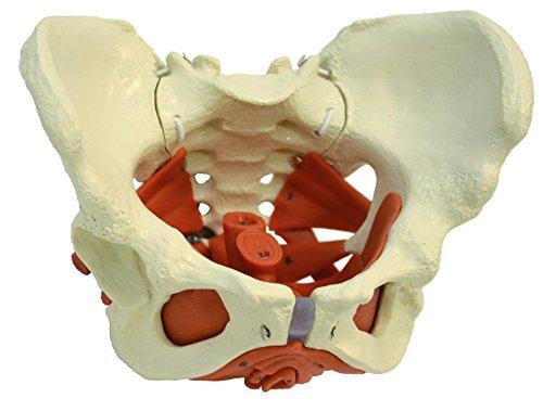 Ruediger Anatomie A276 Weibliches Becken mit Beckenbodenmuskulatur, Tafel