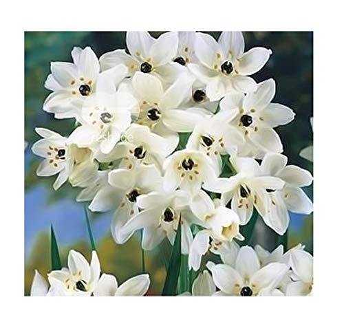 10x Ornithogalum saundersiae Samen Milchstern Pflanze Garten B1859