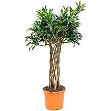 Zimmerpflanzen Für Wenig Licht suchergebnis auf amazon de für zimmerpflanzen wenig licht redwood