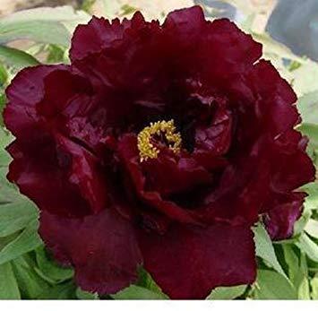 10 pcs / sac graines de pivoines Terrasse Cour Jardin Paeonia Suffruticosa Graines de fleurs vivaces plantes en pot pour le jardin de la maison 18