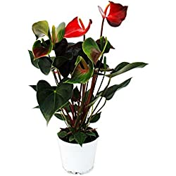 "Flamingoblume ""Rainbow Champion"" orange Anthurium andreanum 14cm"