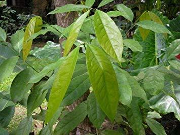 Potseed Keimfutter: Melientha suavis 10 Samen zum Anpflanzen von Thailand -