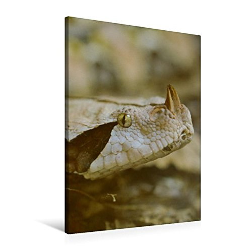 Premium Textil-Leinwand 60 cm x 90 cm hoch, Gabunviper | Wandbild, Bild auf Keilrahmen, Fertigbild auf echter Leinwand, Leinwanddruck (CALVENDO Tiere)