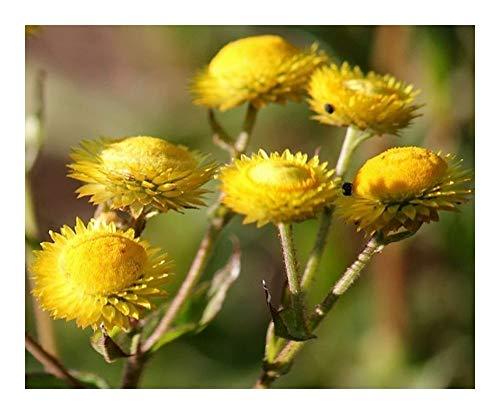 Helichrysum cooperi - gelbe Strohblume - 10 Samen