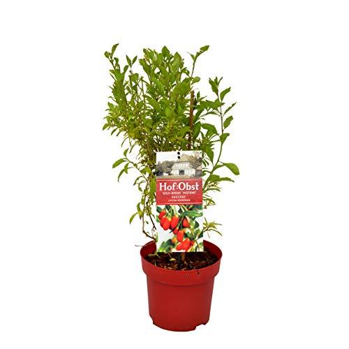Hof:Obst 'Instant Success' Goji-Beere , Goji-Beerbusch im Topf , winterhart , mehrjährig , Pflanze für Garten, Terrasse, Balkon oder Kübel