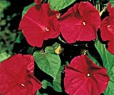 Bobby-Seeds Kletterpflanzensamen Prunkwinde Scarlett O Hara Portion